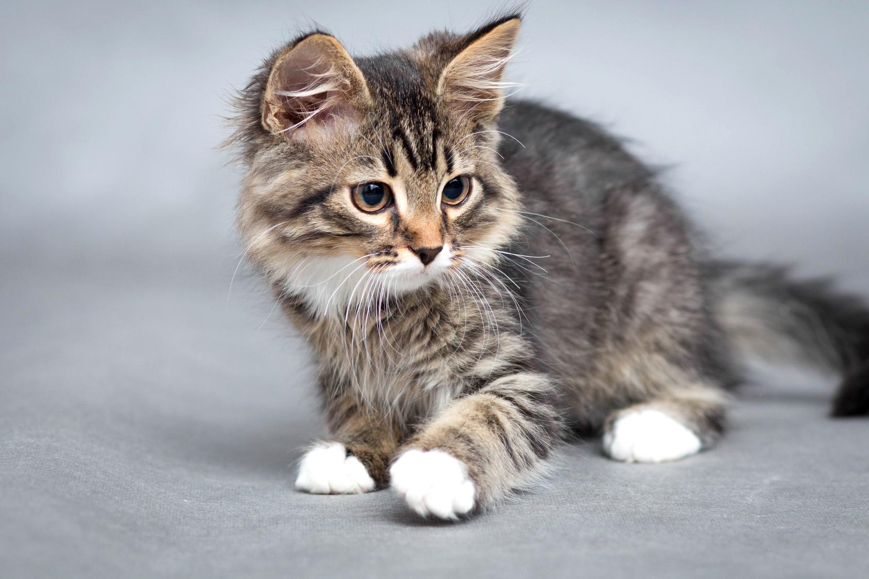 Les 10 races de chats les plus chères au monde