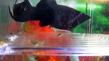 Son poisson Black Molly met bat et donne naissance à plein de petits poissons adorables dans son aquarium