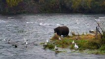 Bear 747 charges subadult brown bear in Brooks Falls - Brown Bear Live Cam Highlight 09.23.17-HhirLmm2YB0