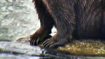 Bear Paws and Claws - Brown Bears Live Cam Highlight 10_22_17-S0PrK3DGbBg