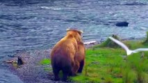 Bears mate then get in quarrel - Brown Bears Live Cam Highlight-QwwqAUKHoqo