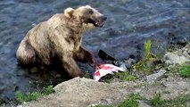 Brown Bears Skins Salmon while Bird Waits for Leftovers - Brown Bear Live Cam Highlight-lOD4IMb5pXw