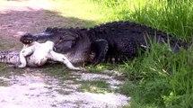 Un alligator gigantesque en dévore un autre et n'en fait qu'une bouchée