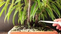 Sabre Leaf Ficus Bonsai, Sept 2016-haeBiF9KnQw