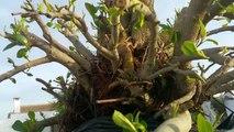 Actualización del ficus rubiginosa (vídeo de Patreon)-Zl7HKge2SKg