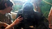 Cet homme montre des photos de gorilles à un gorille dans un Zoo