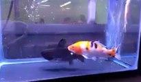 Ces deux poissons n'ont pas cohabité longtemps dans cet aquarium !