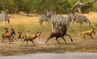 Cães Selvagens Vs Búfalos, Gnus, Zebras, Crocodilos