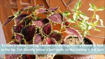 How to Grow Coleus From Cuttings (WITHOUT ROOTING HORMONE)-vkXYNnuw46w