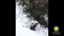 Ce bébé panda qui fait des roulades dans la neige est la vidéo la plus mignonne que vous verrez aujourd'hui
