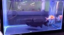 Ces poissons rouges n'auront pas cohabité longtemps dans le même aquarium...