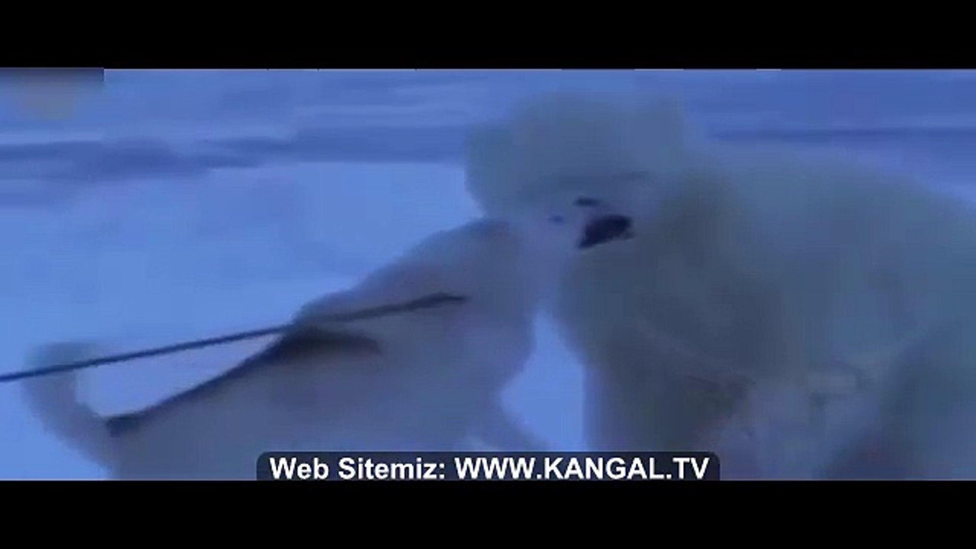 BEYAZ AYI vs SiBiRYA KURDU - WHiTE BEAR vs SiBERiAN WOLF