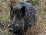 Fieldsports Britain - Hunting British wild boar + woodcock bonanza + Quex Museum