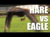 Fieldsports Britain - Hare vs eagle + British wild boar + Welsh miners hunting (episode 169)