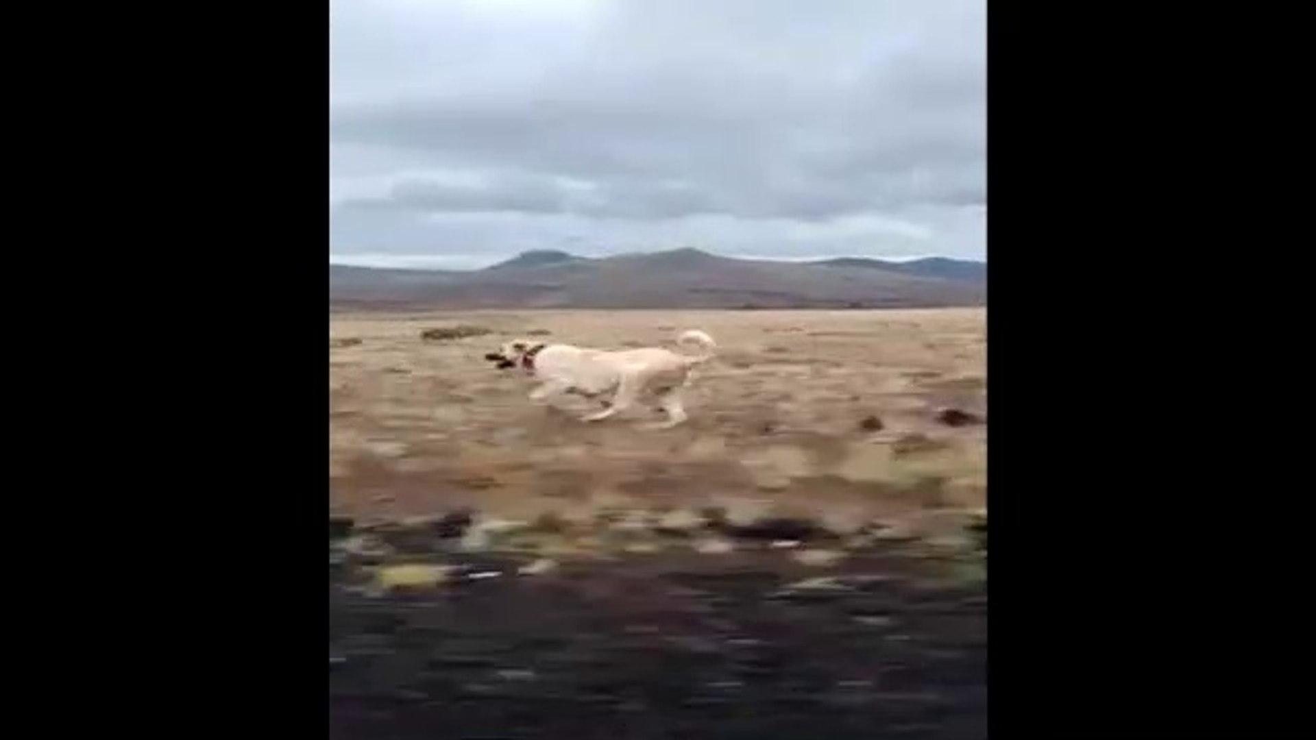 YARIS ATI MiSALi ANADOLU COBAN KOPEGi - ANATOLiAN SHEPHERD DOG EXERCiSE