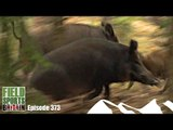 Fieldsports Britain - Hunting Boar with Hounds