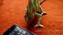 Ce caméléon n'aime pas les iPhone ... Regardez sa tête MDR
