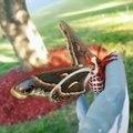 Ce papillon géant est magnifique - Cecropia moth, le plus grand papillon du monde