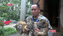 一胎生四个小老虎个个顽皮可爱 _ Lovely Quintuplet Siberian Tigers In Yun'nan National Park, China-nKF5ErMorXE