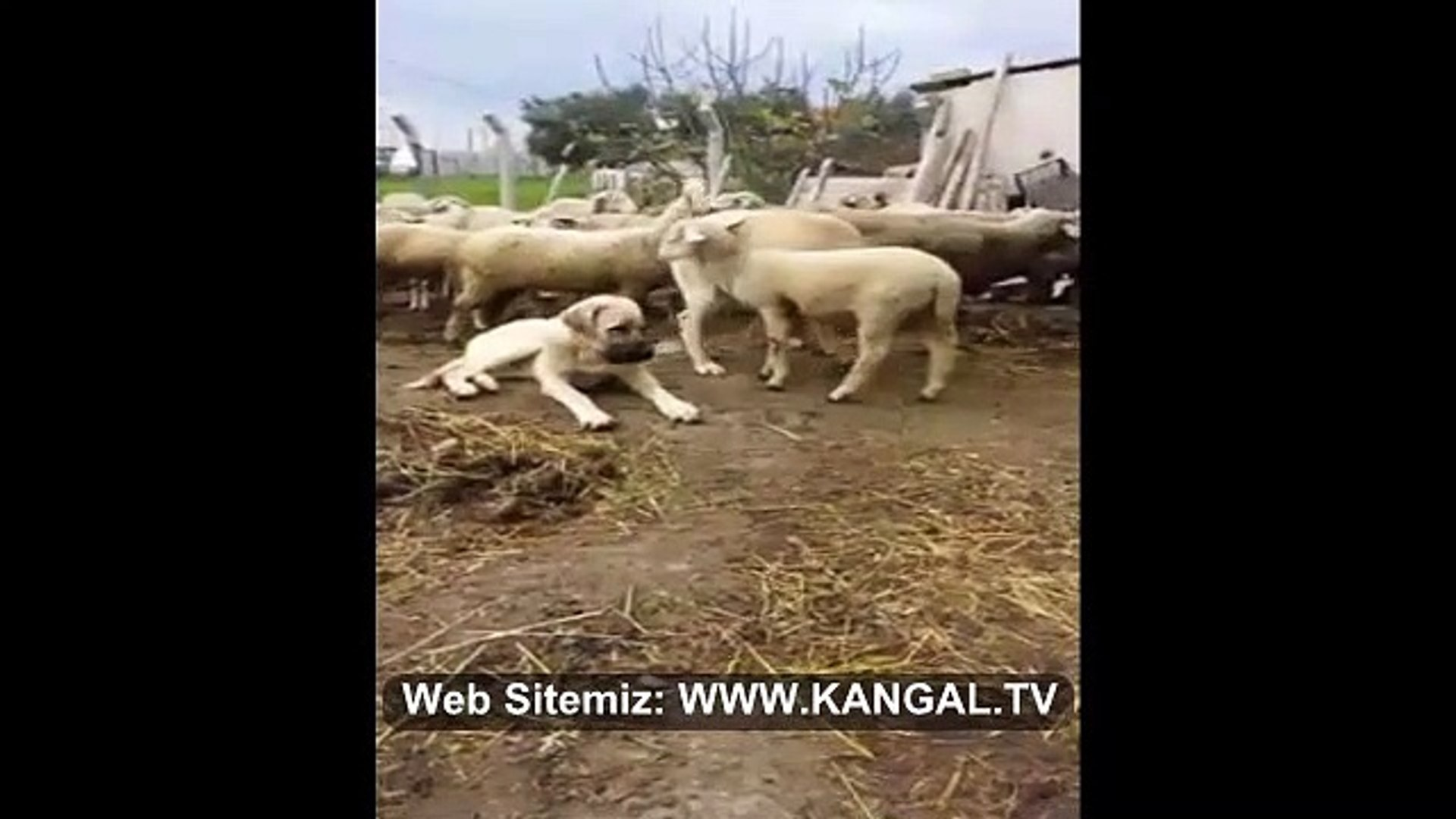ANADOLU COBAN KOPEGiNiN KOYUNLAR ile DOSTLUGU - ANATOLiAN SHEPHERD DOG and SHEEP FRiEND