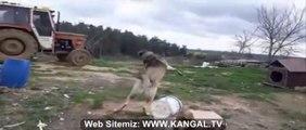 TRAKTORE ADAMCI ANADOLU ASLANLARI - ANATOLiAN SHEPHERD DOG ATTACKiNG TRACKTOR