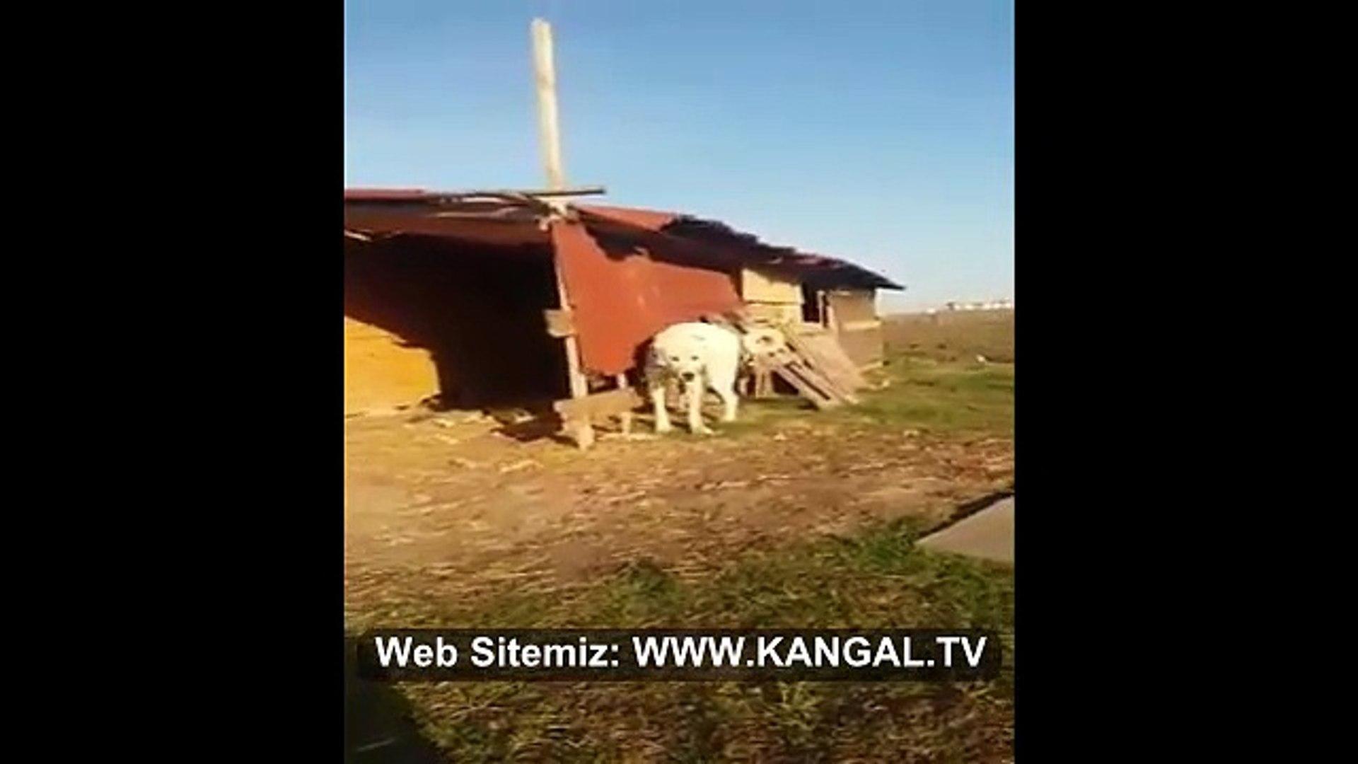 HAZIR KITA AKBAS COBAN KOPEGi - Anatolian Shepherd Akbash Dog