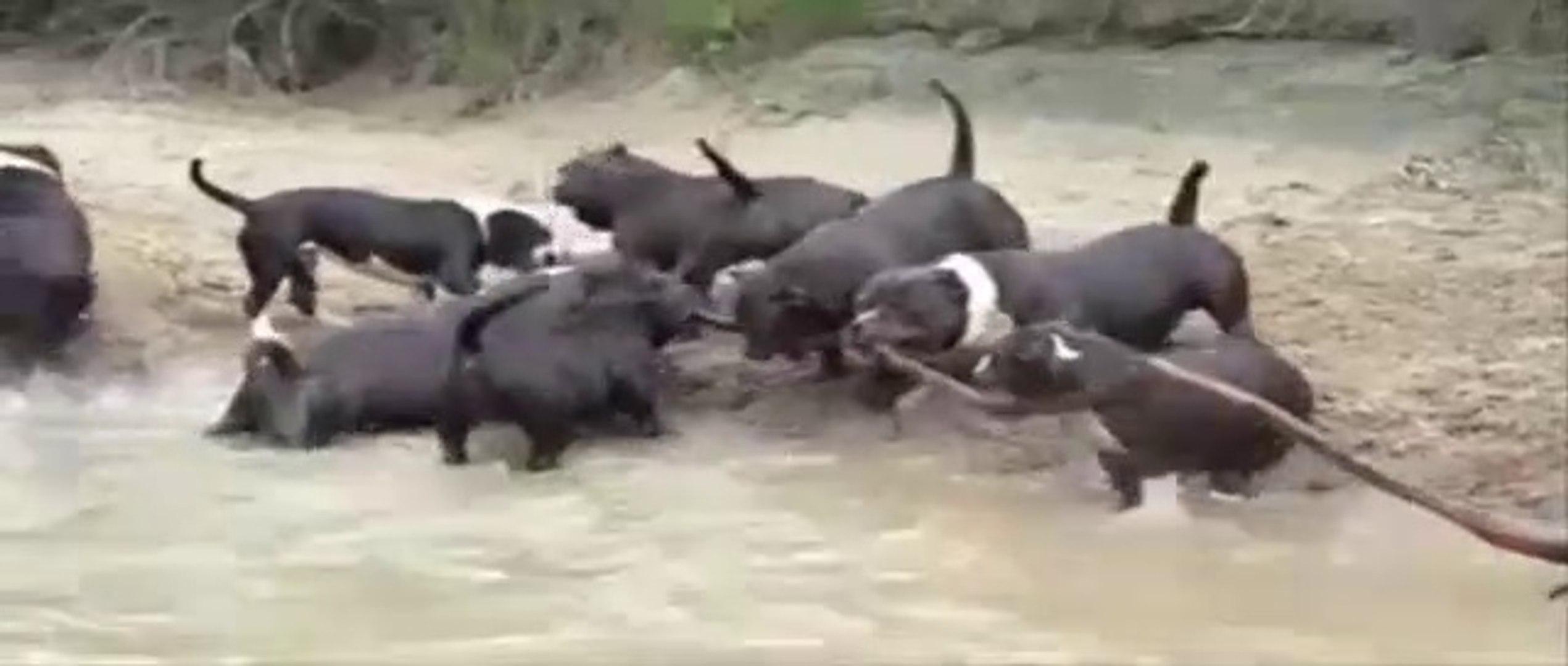 PiTBULL KOPEKLERiNE AGIR KOMANDA EGiTiMi - Pitbull Dogs Millitary Education