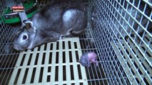Animaux : la nouvelle vidéo choc de L214 sur la fourrure de luxe des lapins (vidéo)