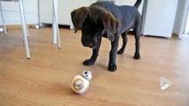 droide BB-8 vs chiot !