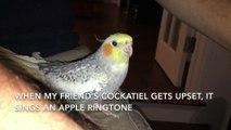 Un cockatiel qui joue la sonnerie Apple à la perfection