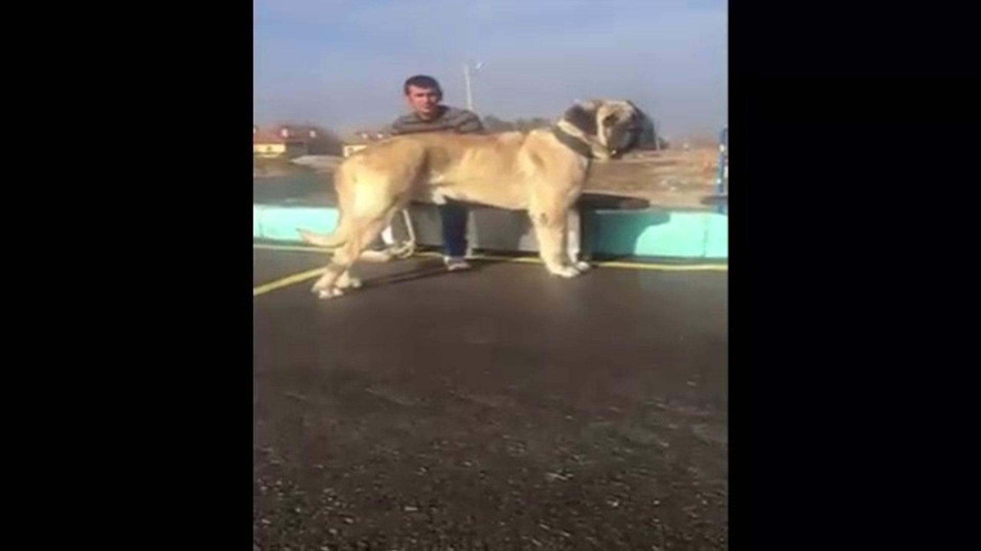 DEV AKSARAY MALAKLI KOPEGi - GiANT ANATOLiAN SHEPHERD MALAKLI DOG