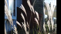 About Your Ornamental Grasses