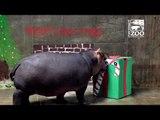 Cincinnati Zoo Celebrates Fiona the Hippo's First Christmas