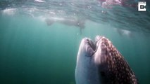 La grande gueule d'un requin baleine