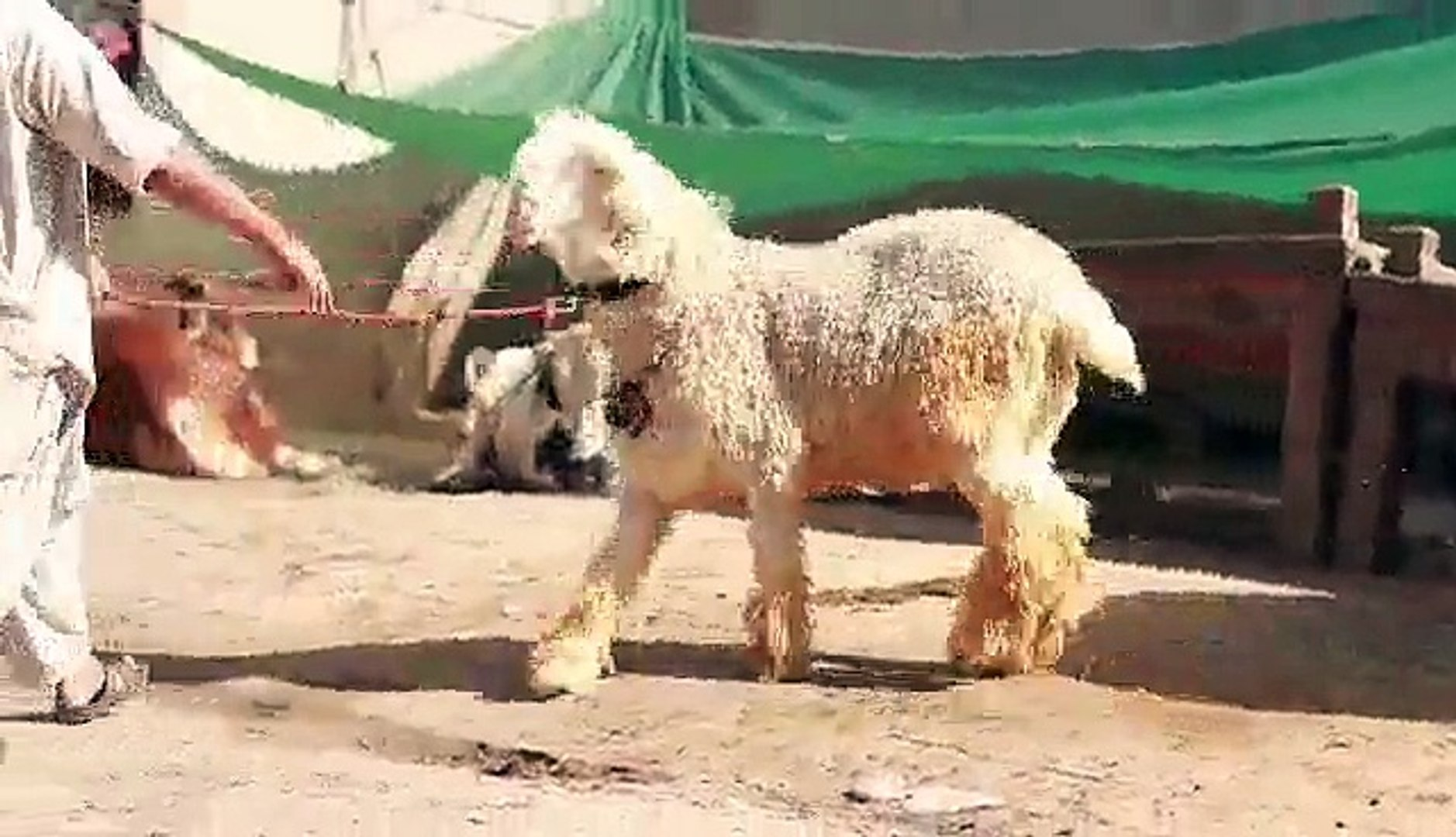 MUNDRA CHATRA OF PAPPU JUTT CATTLE FARM__MA SHA    - Lahore Cow & Bakra  Mandi