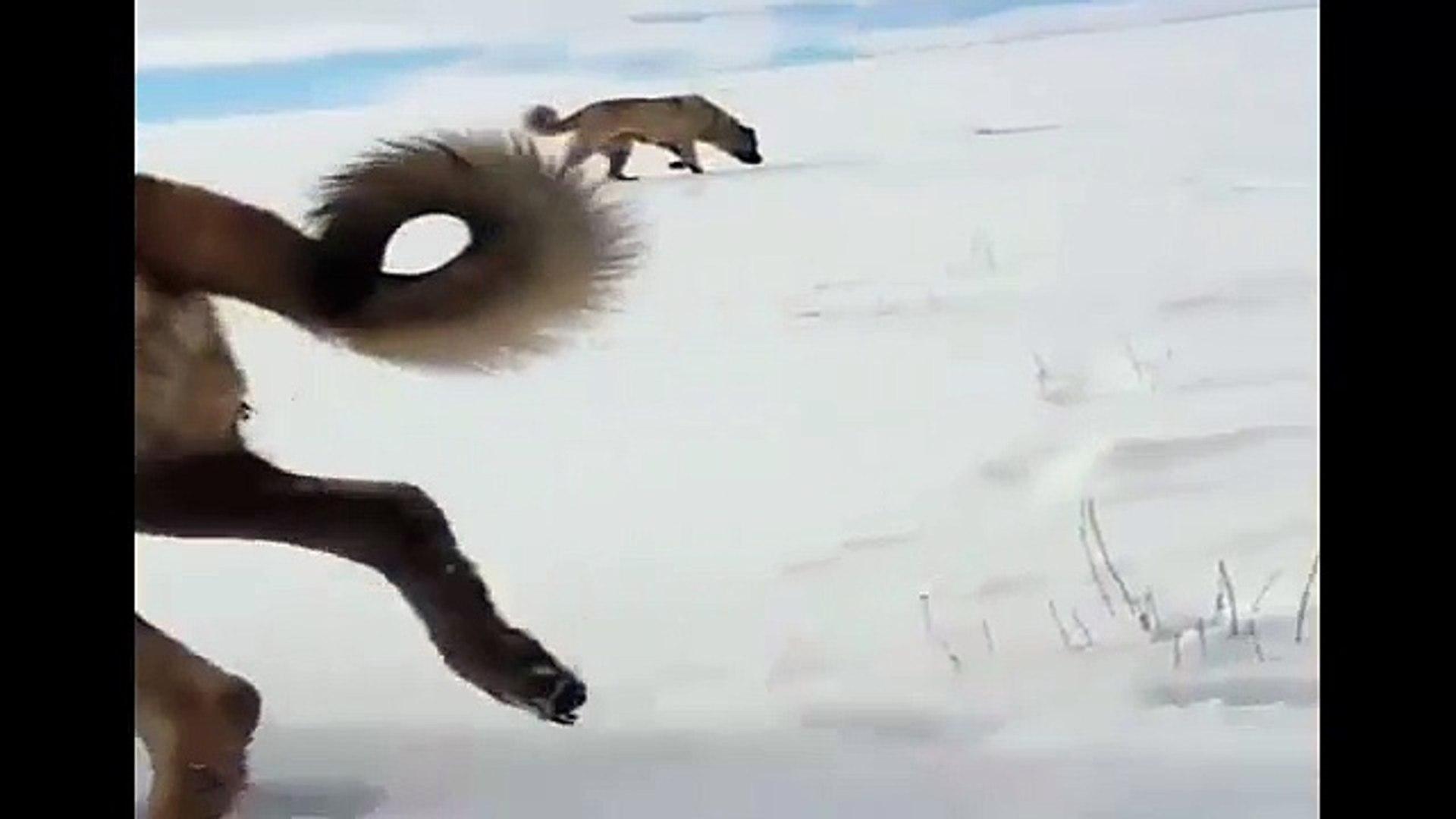 SiVAS KANGAL KOPEKLERiNE KAR TATiLi - ANATOLiAN KANGAL DOGS and SNOW PLAY