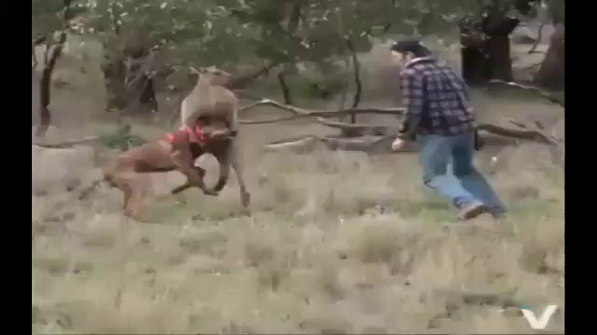 PiTBULL vs KANGURU vs iNSAN - PiTBULL DOG vs KANGAROO and PEOPLE