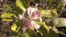 Kışın Ortasında Çiçek Açan Elma Ağaçları Görenleri Şaşkına Çevirdi