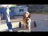 jay mon berger allemand avec son chariot pour chien pour marcher librement