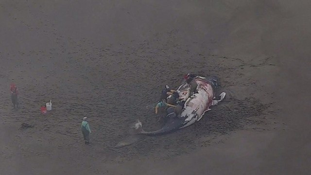 Dead whale washes ashore in California
