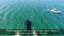 Tourists swim alongside whale sharks in northern Mexico