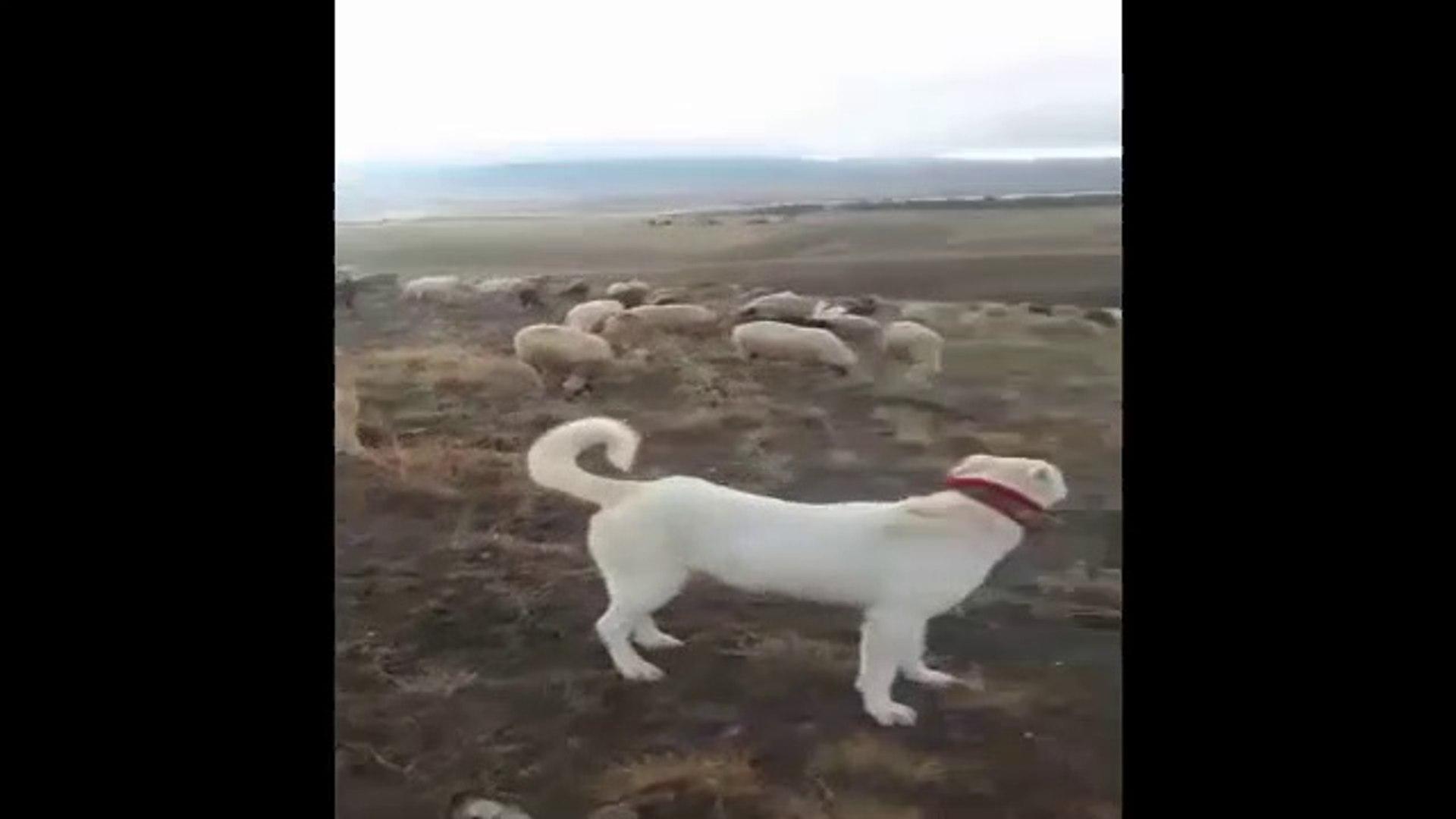 AKBAS ve ALA COBAN KOPEKLERi KOYUN NOBETi - AKBASH and ALA SHEPHERD DOG SHEEP WATCH