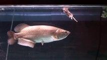 Il nourrit son poisson d'aquarium avec des souris... L'aquariophilie, une passion cruelle