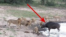A Crazy Buffalo vs The Lions - Herd of Buffalo Saves Calf From Pride Of Lions