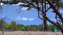 PELEAS DE NIMALES  ANIMALES SALVAJES,LAS MANGOSTAS,DOCUMENTAL,ÁFRICA,DISCOVERY Documental Fauna