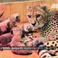 Huit bébés guépards sont nés au zoo de Saint-Louis