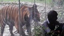 [MP4 1080p] Tiger attacked the man in Alipore Zoo, Kolkata