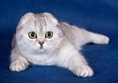 Scottish Fold cats - Nicely cats !
