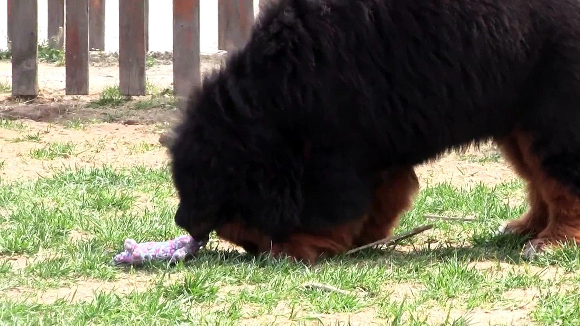 CiN ASLANI ve TiBET MASTiFi KOPEKLERi - CHOW CHOW and TiBETiAN MASTiFF DOGS