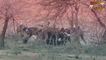 Hunting Wild Dogs Eating Live Warthog Hyena Attack And Kills Jackal Most Amazing Wild Animals AttacK